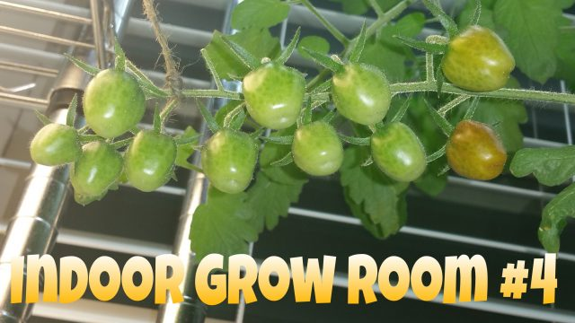 Indoor Grow Room #4 – Ripening Tomatoes!