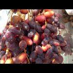 DATES – Growing & Eating Organic Locally Grown Dates in Phoenix, Arizona