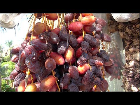 DATES – Growing & Eating Organic Locally Grown Dates in Phoenix, Arizona