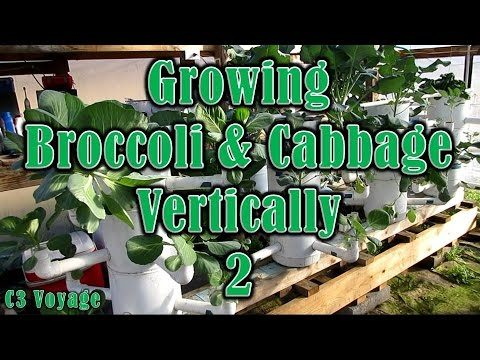 Growing Broccoli & Cabbage Vertically 2