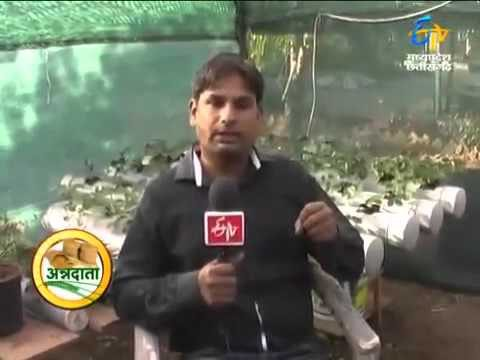 hydroponic strawberry cultivation in madhya Pradesh