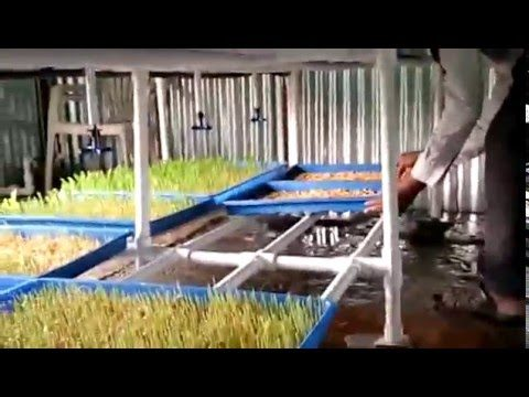 Build Your Own Hydroponic Fodder System for Cattles Part-3 (Sprouted Seeds Feeding)