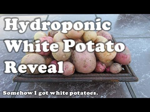 Hydroponic White Potato Reveal
