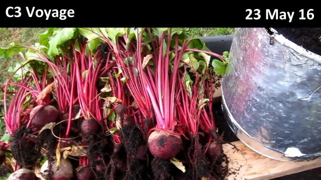 Hydroponic Beet Harvest – 23 May 16