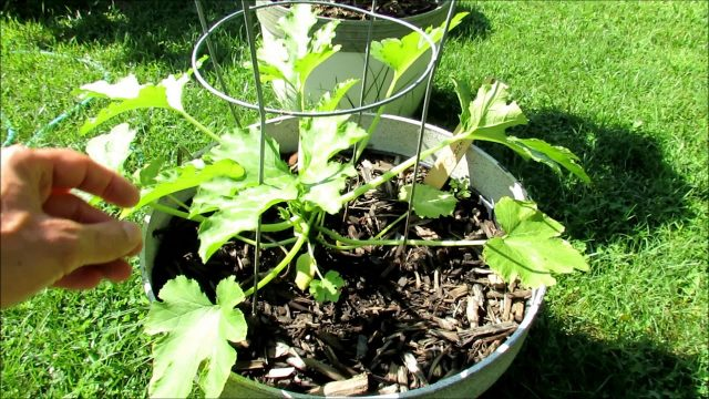 Vegetable Garden Tour Mid August: A Vacation Watering Tip, Cucumber Seed Saving,  Cool Season Crops