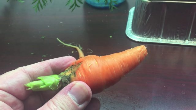 Hydroponic Carrot – Will it Kratky?