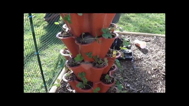 Strawberry Tower Watering