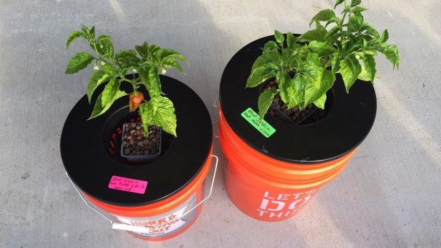 Non-Circulating (Kratky) Outdoor Hydroponics Hot Peppers – Bhut Jolokia