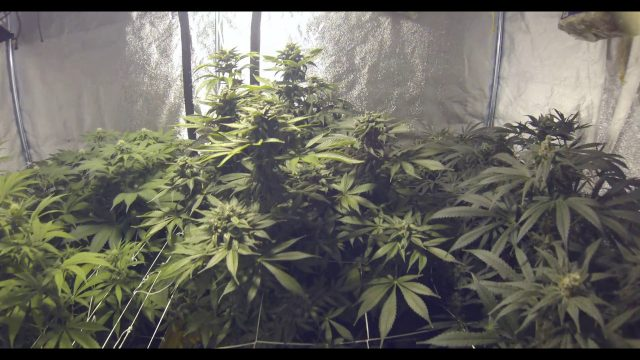 Hyperaerated aeroponic system, Germination to Harvest Ep.14