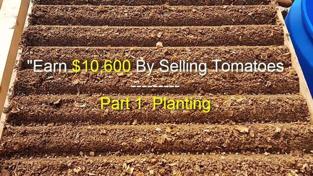 EARN $10,600 BY SELLING TOMATOES – Step 1: Planting