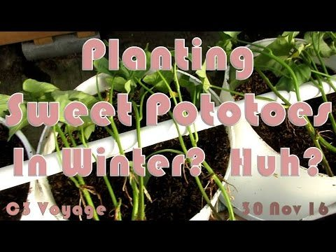 Planting Sweet Potatoes in Winter