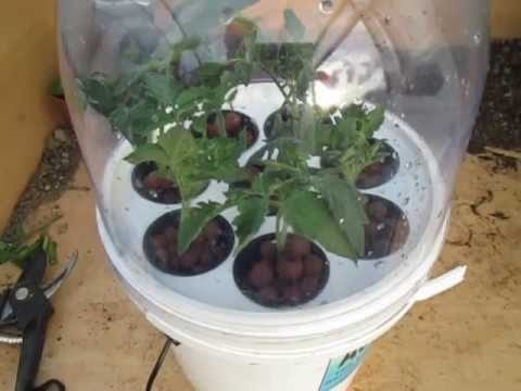 Growing Tomato Cuttings in Hydroponics (Step by Step)