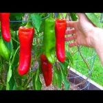 August 29th Garden Harvest Update Melon Pepper Tomato Container Vegetable Gardening How to Grow