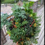 Awesome urban edibles: Growing vertically in a Garden Tower 2