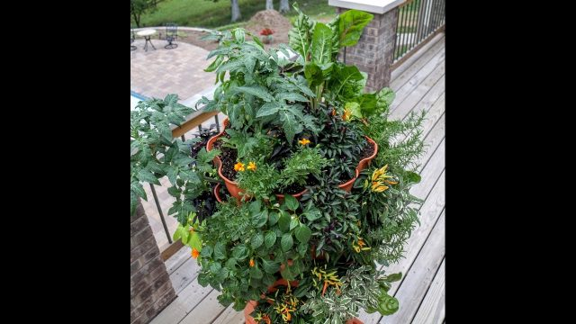 Awesome urban edibles: Growing vertically in a Garden Tower 2