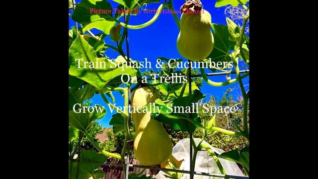 Training Squash & Cucumbers On Trellis Small Space Grow Vertical