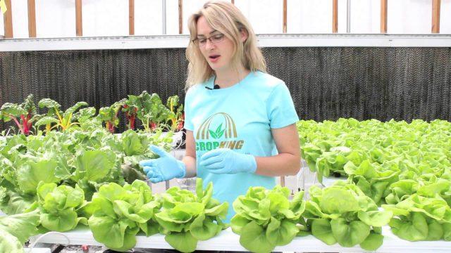 Harvesting Hydroponic Bibb Lettuce