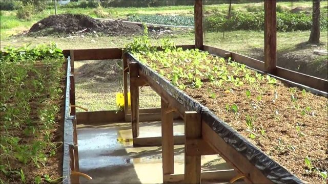 Hydrophonics Celery under Shade house & Packaged Produce by GSA