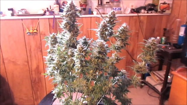 INDOOR GARDENING CANNABIS PLANTS – SOIL VS COCO COIR – HARVESTING MARIJUANA