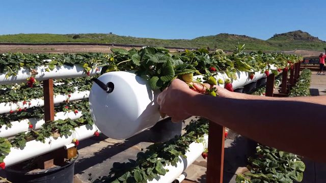 Tanaka Farms Hydroponic Grown Strawberries