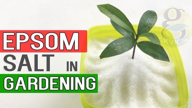 EPSOM SALT IN GARDENING   Benefits in Gardening, Plants and Soil   Garden Tips in English