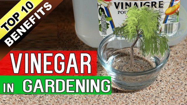 VINEGAR in GARDENING – Top 10 Proven Benefits / Uses of Acetic Acid in Garden