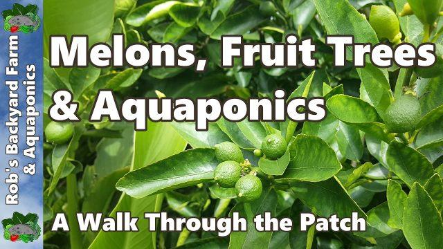 Melons, Fruit Trees & Aquaponics – Backyard Farm & Aquaponic Update
