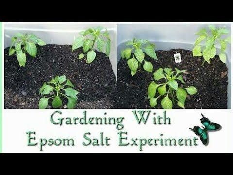 Epsom salt benefit in gardening || Epsom salt का पौधों पर क्या असर होता है।