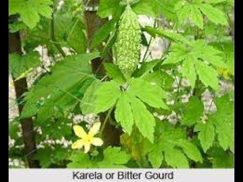 GROWING method of karela / Bitter GOURD with Benefits|| EASY GARDENING SKILLS||HEALTH BENEFITS