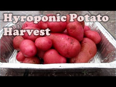 Hydroponic Potato Harvest