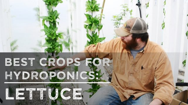 Best Crops For Hydroponics: Lettuce