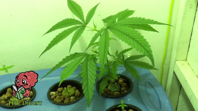 How to Grow Hydro Weed Indoors – Early Vegetative Phase
