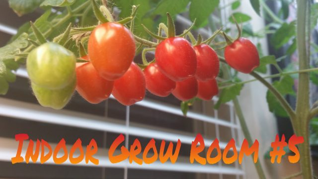 Indoor Grow Room 5 – Growing Ripe Tomatoes Indoors!