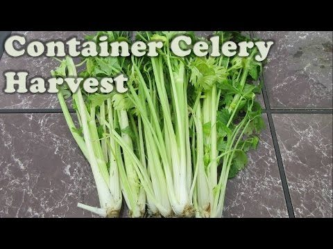 Container Celery Harvest