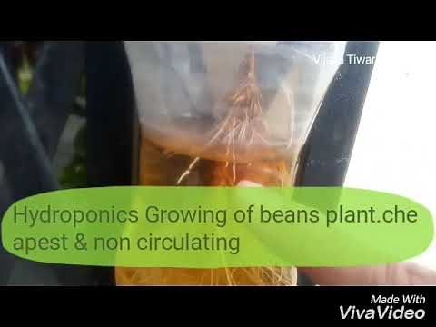 Cheapest & non circulating Hydroponics-growing of beans plant with organic fertilizer/DIY(Hindi/Urdu
