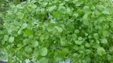 Growing Watercress by a Suspended Pot, Non circulating Hydroponic Method