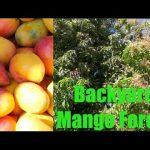 Incredible Mango Tree Forest in Phoenix, Arizona – Wow!