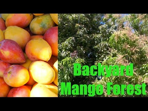 Incredible Mango Tree Forest in Phoenix, Arizona – Wow!