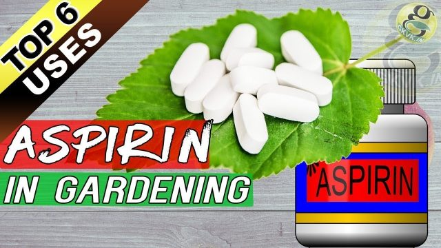 ASPIRIN IN GARDENING – Top 6 Benefits of Aspirin Tablet in Garden – in English