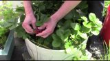 My 2015 Container Vegetable Garden Update: Another Small Harvest