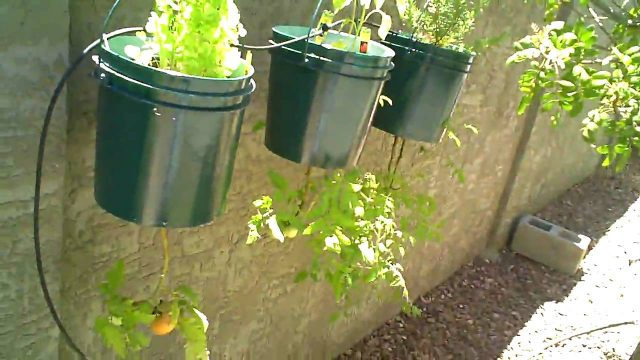 Growing a Backyard Vegetable Garden in Phoenix ,  Arizona