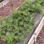 Everyone Can Grow A Garden #20: Vegetable Garden Tour 1