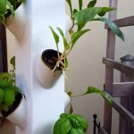 Hydroponic Vegetable Garden – Tower and Zucchini 3