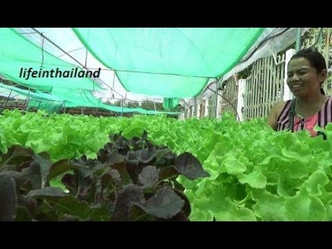 Tour of a small hydroponic lettuce farm in rural Thailand.