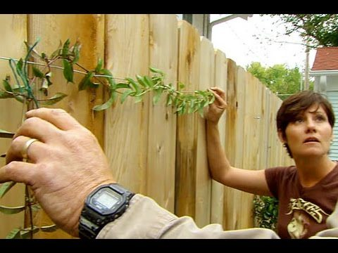 How to Plant and Train Vines on a Fence – This Old House