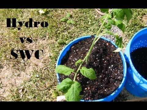 Hydroponic vs Self-Watering Containers – Part 3