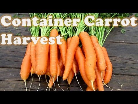 Container Carrot Harvest