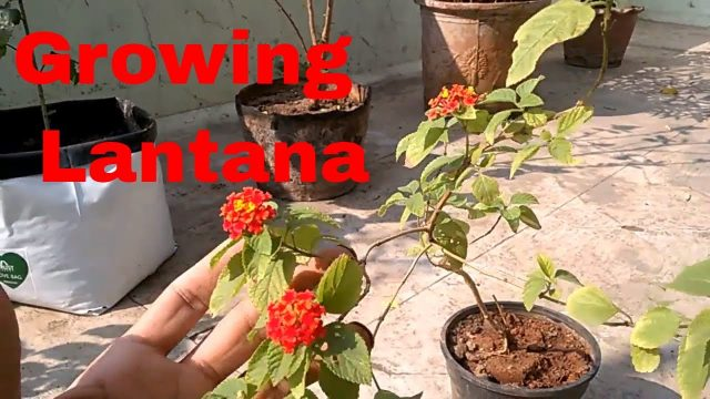 HOW TO USE NON DECOMPOSED COW DUNG(FRESH DRIED COWDUNG)  GROW LANTANA IN COW DUNG AN EXPERIMENT!!!