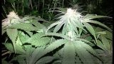 TIPS AND TRICKS FOR GROWING CANNABIS! – INDOOR GARDENING