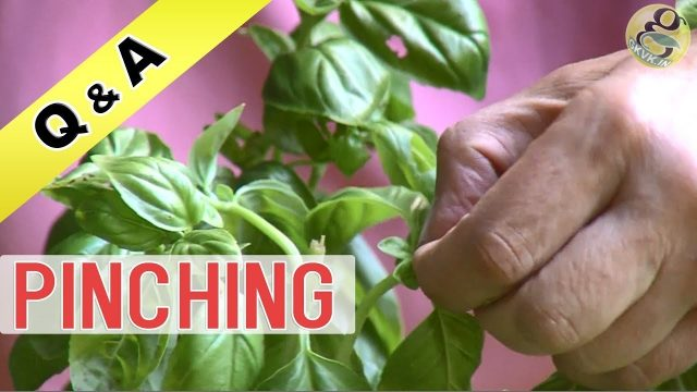 WHAT IS PINCHING IN GARDENING | Pinching for Plants | Benefits – How to Make Plant Bushy
